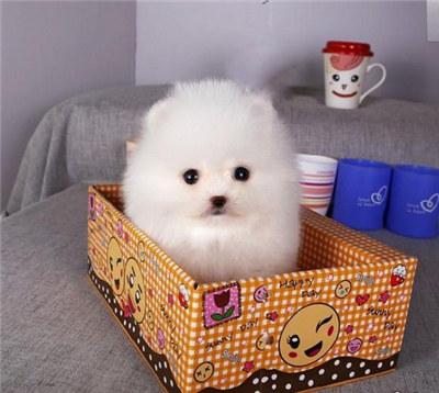 如何清洗茶杯犬?为茶杯犬做清洗的方法及注意事项